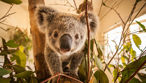 Ipswich Koala Protection Society
